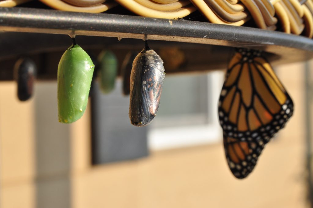 emerging butterfly and two pupae